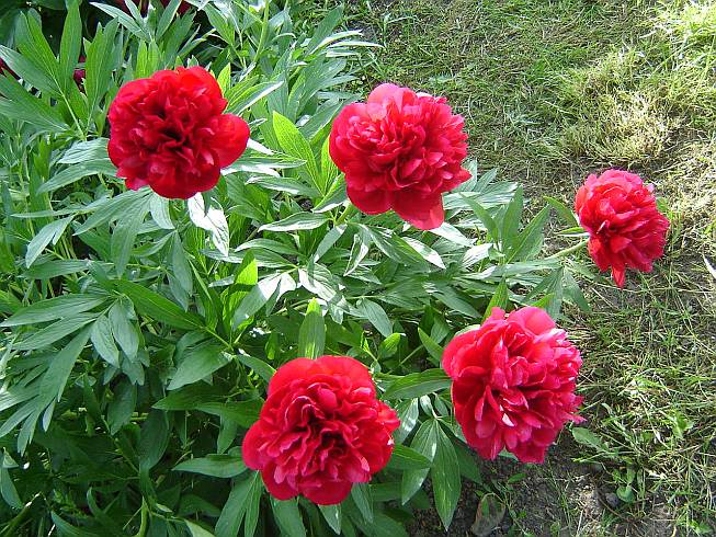 Paeonia-off.-rubra-plena