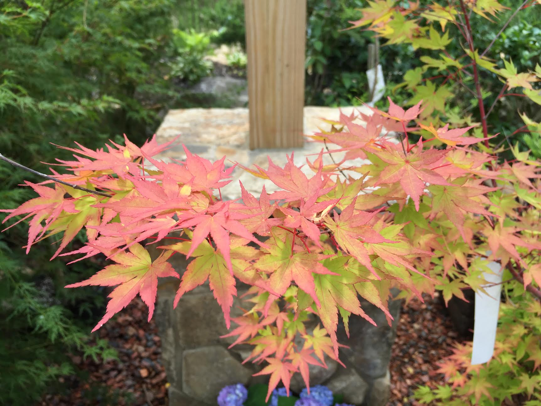 sango-kaku-coral-bark-maple-japanese-maple-sango-kaku-sugar-maple-tree-red-bark-maple-tree-red-maple-bark-red-bark-japanese-maple-acer-palmatum-sango-kaku-sango-kaku-japanese-maple-pics-j