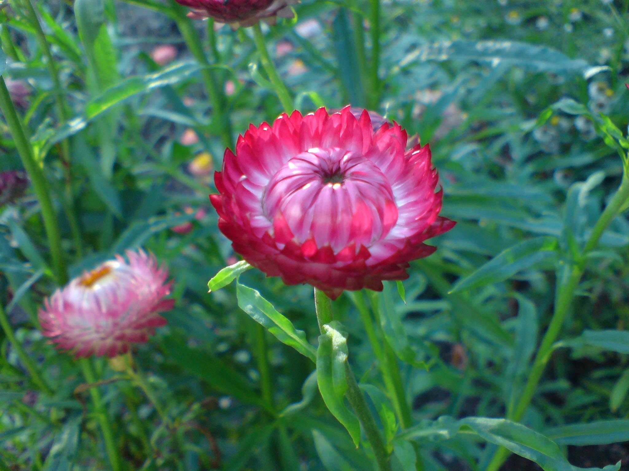 helichrysum_bracteatum_garten-strohblume-2