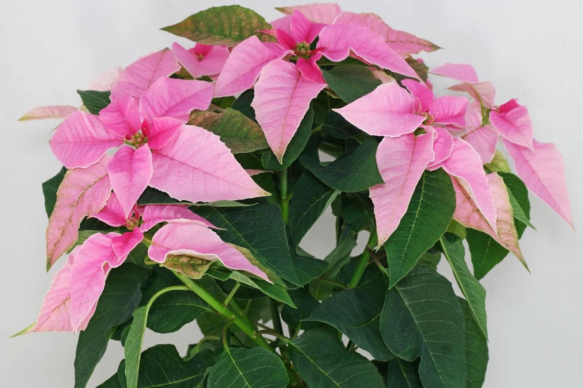 euphorbia-pulcherrima-princettia-pink
