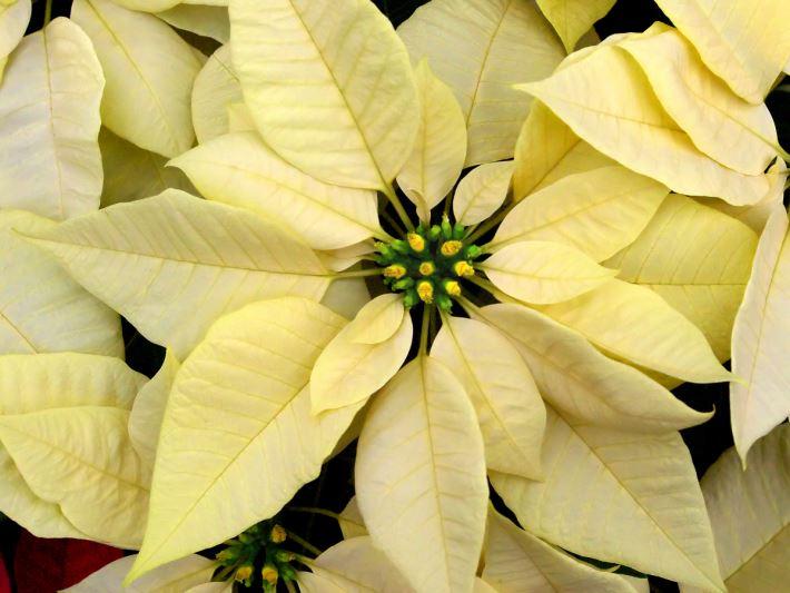 yellow-bract-euphorbia-pulcherrima
