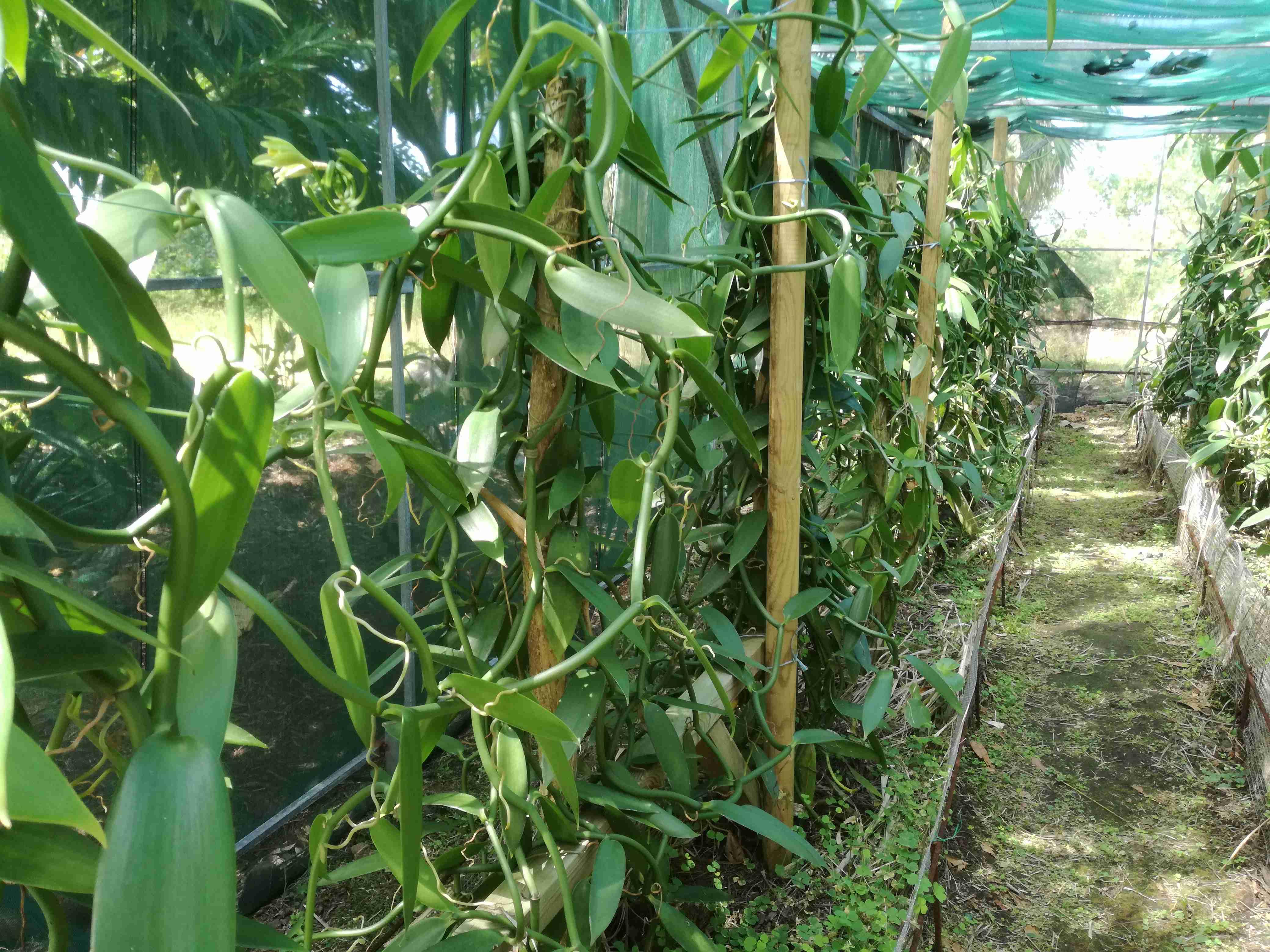 pestovanie-vanilky
