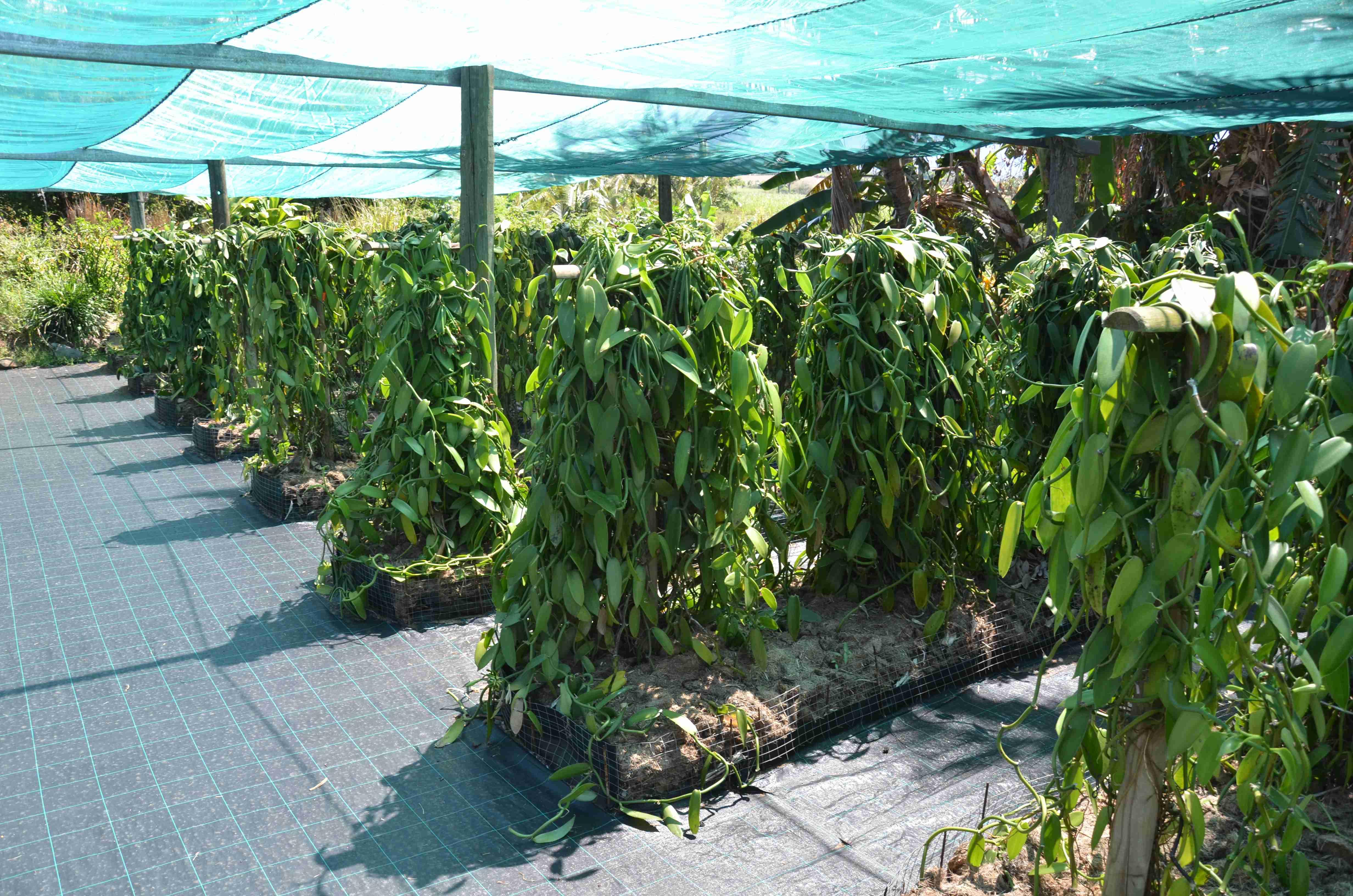 vanilkova-plantaz